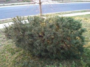dead christmas trees